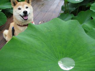 ハスの水溜り.jpg
